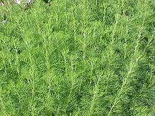 220px-Artemisia_abrotanum0