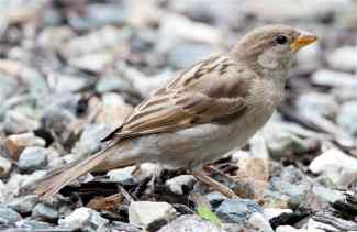 female-house-sparrow-on-gravel