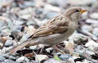 female-house-sparrow-on-gravel