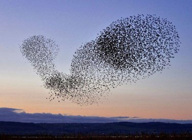 Flock-of-Starlings