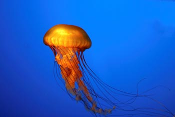 jellyfish[1]