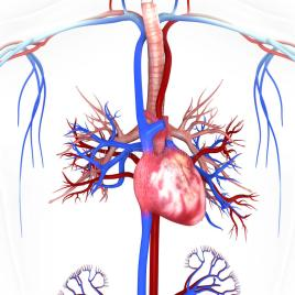 heart-veins-arteries-helps-blood-flow-40454786
