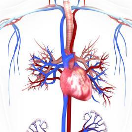 heart-veins-arteries-helps-blood-flow-40454786