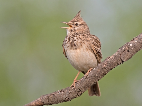 Crested_lark_singing