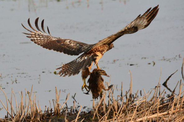 Hawk-duck8-17-800x533